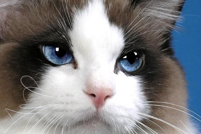 Сколько течка у кошки