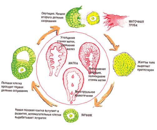 менструальный цикл, как считать, овуляция